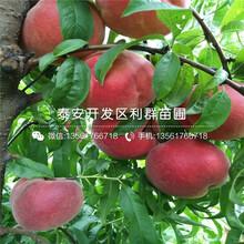 1公分桃树苗、1公分桃树苗价格及报价图片