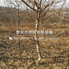 新品种金冠8-18桃树苗、新品种金冠8-18桃树苗基地图片