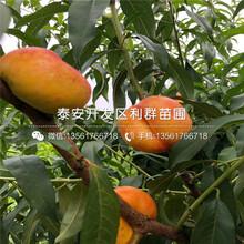 山东早甜蜜桃树苗、早甜蜜桃树苗价格及报价图片
