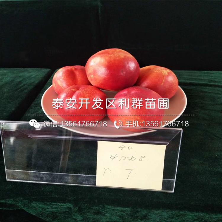 3公分油蟠6-6桃树苗、3公分油蟠6-6桃树苗价格及报价