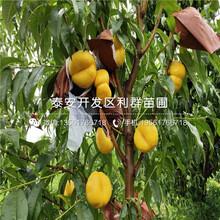 山東甜黃金桃樹苗、甜黃金桃樹苗報價圖片
