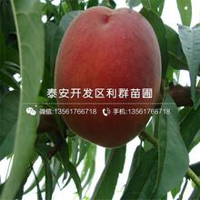 4公分4公分桃樹苗、4公分4公分桃樹苗價格圖片