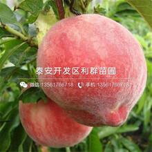 1公分锦春桃树苗、1公分锦春桃树苗价格图片