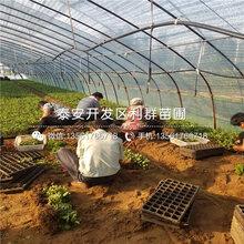 出售红南阳樱桃树苗、出售红南阳樱桃树苗价格及基地图片