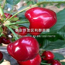 批发早红珠樱桃树苗、早红珠樱桃树苗基地图片