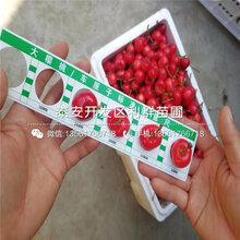3公分5公分樱桃树苗、3公分5公分樱桃树苗价格图片