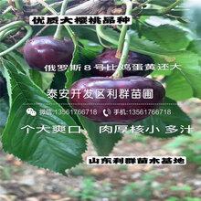 新品种蜜浓樱桃树苗价格、新品种蜜浓樱桃树苗基地图片