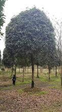 专业种植绿化工程苗木的桂花树,桂花报价,桂花图片图片