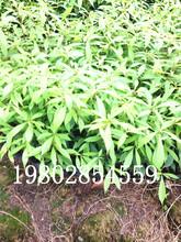 成都小叶桢楠种植基地低价出售桢楠小苗图片
