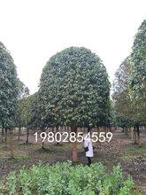 大型桂花树种植基地,桂花批发,占地桂花精品桂花都有货图片