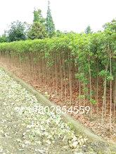 桂花条子编织的桂花树花柱造型出售图片
