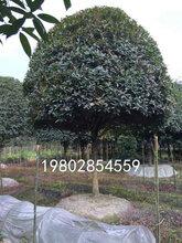 占地8-12公分精品桂花树照片以及报价图片