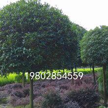 八月桂种植基地,出售各种规格的桂花树图片