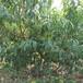 黄金蜜桃苗价格油蟠7-7桃树苗价格