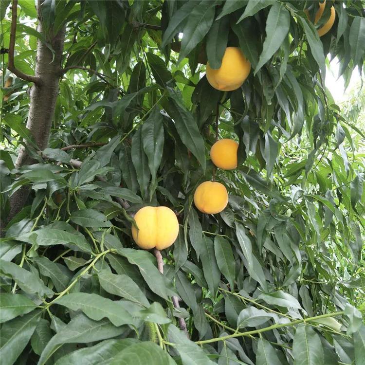 苗经济效益油蟠7号桃树苗产量