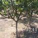 奥红梨苗产量、早红考密斯梨苗哪里有