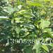 二公分梨树苗新品种、圆黄梨苗