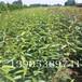 早酥红梨苗亩产量四公分梨树销售
