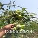 6公分梨树栽培技术、晚秋黄梨苗