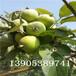 梨苗哪里有、早酥红梨苗