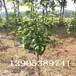 5公分梨树批发价格5公分梨树新品种