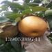 早红考密斯梨苗产量、早红考密斯梨苗亩产量