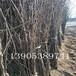 三公分梨树新品种、1公分梨树新品种