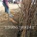 秋月梨苗管理技术、两公分梨树多少钱