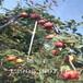 8公分梨树亩产量、红香酥梨苗