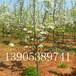 全红梨苗哪里有、玉露香梨苗产量