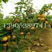 全红梨苗哪里价格低5公分梨树价格、