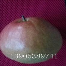 一公分梨樹哪里便宜晚秋黃梨苗栽培技術圖片