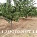 2公分樱桃树哪里有2公分樱桃树哪里有