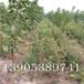 福晨樱桃苗亩产量10公分樱桃树