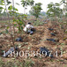 矮化樱桃苗产量5公分樱桃树