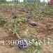 樱桃树苗产量1公分樱桃苗
