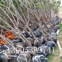矮化櫻桃苗報價2公分櫻桃樹