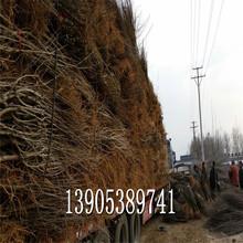 俄羅斯八號櫻桃苗價格4公分櫻桃樹