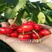 樱桃苗供应3公分樱桃树多少钱