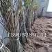 10公分樱桃树供应2公分樱桃树