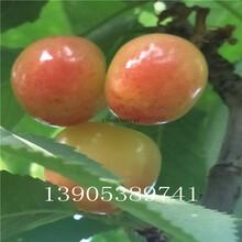 櫻桃苗圖片1公分櫻桃苗