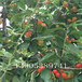樱桃苗供应3公分樱桃树价格