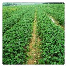 基地出售隋珠草莓苗量大处理盆栽地栽大棚种植苗开花结果带土立摘可食当年收益图片