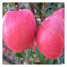 苹果树苗基地直销嫁接苗烟富0号苹果苗种植销售基地苹果树苗批发图片