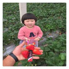 草莓什么品種好種植南北盆栽地栽易成活草莓苗品種齊全量大優惠早熟高產草莓苗基地圖片