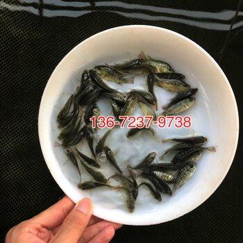 亲亲鱼批发价格温泉鱼出售亲亲鱼养殖基地