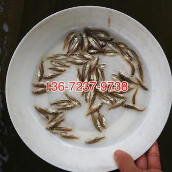 加州鲈鱼苗