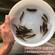 澳洲宝石鲈鱼苗