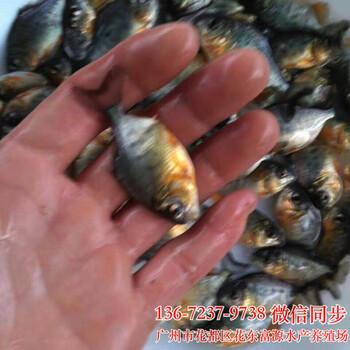 淡水白鲳鱼苗批发红鲳鱼苗出售淡水鲳鱼苗批发价格