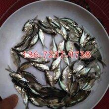 鳊鱼苗批发鳊鱼苗出售鳊鱼苗供应图片